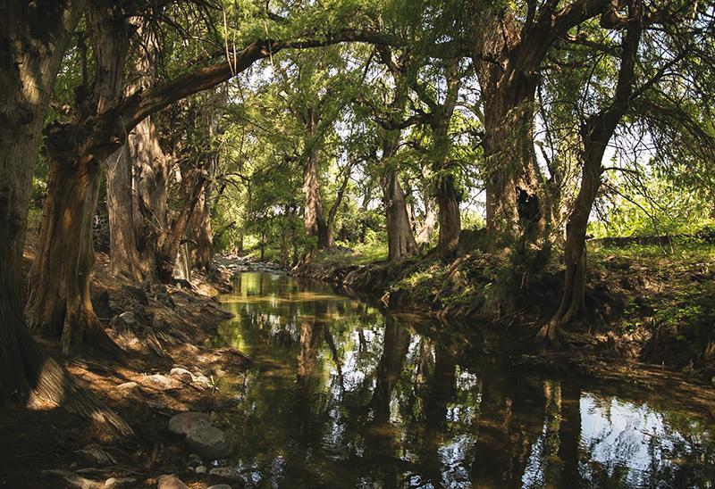 El río Ahuehueyo mantiene sus aguas cristalinas entre los ahuehuetes.