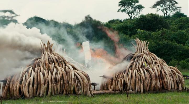 "Kenya, 30 de abril de 2016, quema de 105 toneladas de marfil confiscado.  ""Anthropocene: The human epoch"" (2019) de de J. Baichwal y E. Burtysnky"